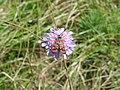 Burnet moth - panoramio.jpg