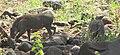 Bushpigs, Lake Manyara.jpg