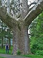 Buttonball Sycamore - sycamore tree in Sunderland, Massachusetts, May 2012.jpg