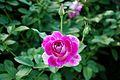 CBG rose 0060.jpg