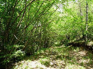 Doros profuges - Corylus habitat in Spain