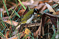 CSIRO ScienceImage 3614 Whitenaped Honeyeater.jpg