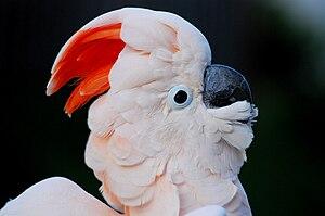 Salmon-crested cockatoo - Image: Cacatua moluccensis closeup of head