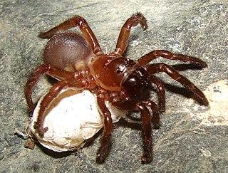 <i>Calathotarsus</i> genus of arachnids