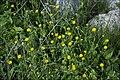 Calendula-arvensis-by-Zachi-Evenor-IZE11717.jpg