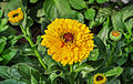 Calendula officinalis 02012015 (2).jpg