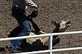 Calf Roping Rodeo 2.jpg