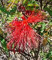 Calliandra californica-- The Baja Fairy Duster (27411623806).jpg