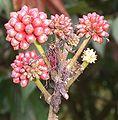 Calliandra carbonaria (6).jpg
