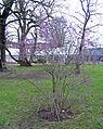 Callicarpa bodinieri var. giraldii (Hesse ex Rehder) Rehder, Botaniska tradgarden, Lund 8.12.07.jpg