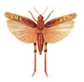 Calliptamus italicus.png