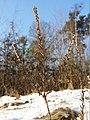 Calluna vulgaris sl25.jpg