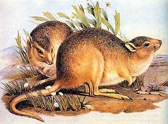 Desert rat-kangaroo - Image: Caloprymnus
