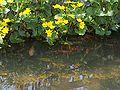 Caltha palustris-Rybki pod kaczencami-2006.jpg