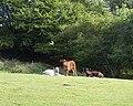 Calves - geograph.org.uk - 472301.jpg