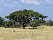Chameau-épine-arbre-avec-moineau-tisserand-nids.jpg