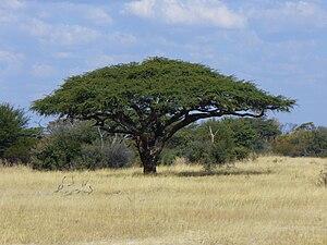 Vachellia erioloba - Vachellia erioloba Camel Thorn