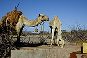 Camels watering in Marsabit in 2005