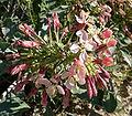 Camissonia boothii 2.jpg