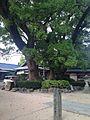 Camphor tree and Koyasukan Hall Umi Hachiman Shrine.jpg