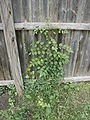 Campsis radicans climbing nearly five feet.jpg