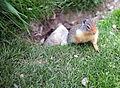 Canadian Squirrel (7631706588).jpg