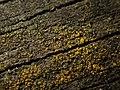 Candelariella vitellina 77959794.jpg