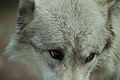 Canis lupus eye contact.jpg