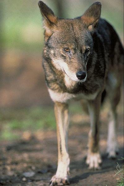 https://upload.wikimedia.org/wikipedia/commons/thumb/9/98/Canis_rufus_standing.jpg/400px-Canis_rufus_standing.jpg