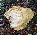 Cantharellus cascadensis, underside - Flickr - gailhampshire.jpg