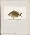 Cantharus grandoculis - 1700-1880 - Print - Iconographia Zoologica - Special Collections University of Amsterdam - UBA01 IZ13100005.tif