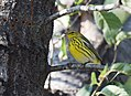 Cape May Warbler (23847653258).jpg