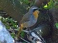 Cape robin chat.jpg