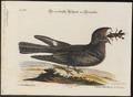 Caprimulgus carolinensis - 1700-1880 - Print - Iconographia Zoologica - Special Collections University of Amsterdam - UBA01 IZ16700053.tif