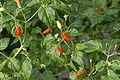Capsicum frutescens01.JPG