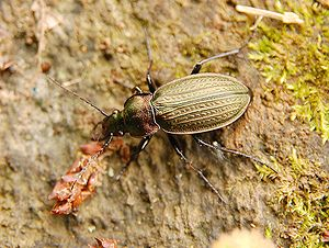 Körnerwarze (Carabus cancellatus)