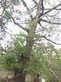 Caraway tree at sundorbon 3.jpg
