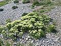Cardaria draba04.jpg