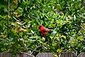 Cardinal (66524829).jpeg