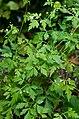 Cardiospermum halicacabum (blaaserwt).jpg