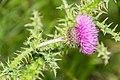 Carduus nigrescens subsp. vivariensis in Causse Comtal (5).jpg