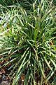 Carex gracillima kz2.jpg