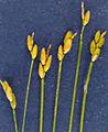 Carex leptalea NRCS-2.jpg