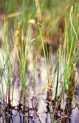 Schlamm-Segge (Carex limosa)