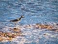 Caribbean birds (6980017664).jpg
