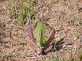 Carpobrotus edulis - Tienie Versfeld Wildflower Reserve-P9210026.jpg