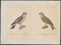 Carpodacus githagineus - 1700-1880 - Print - Iconographia Zoologica - Special Collections University of Amsterdam - UBA01 IZ16000335.tif