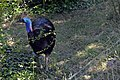 Casoar à casque (Zoo-Amiens).JPG