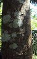 Castanospermum australe 06.JPG