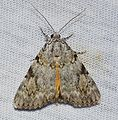Catocala amica – Girlfriend Underwing Moth? -4 from 7-6-14 (14436234300).jpg